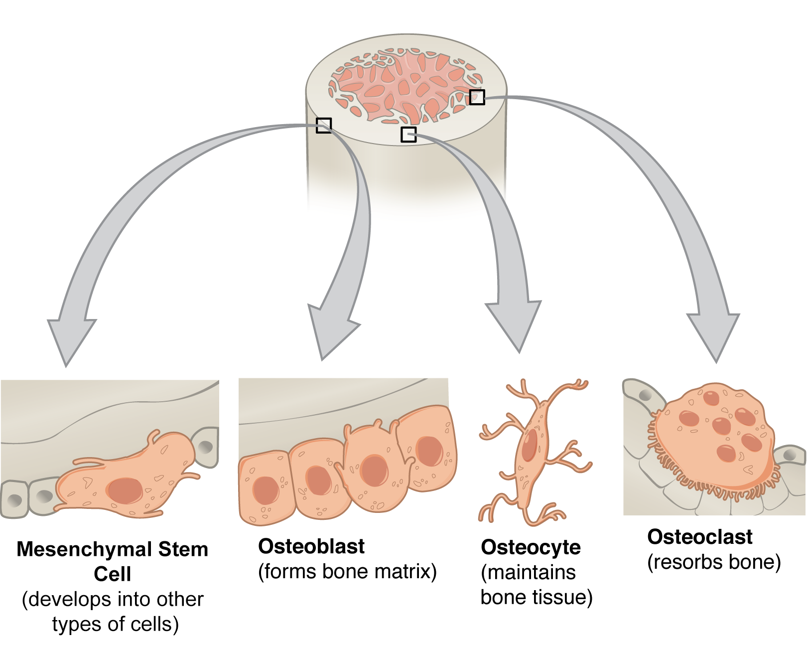 The Different Types of Bone Cells
